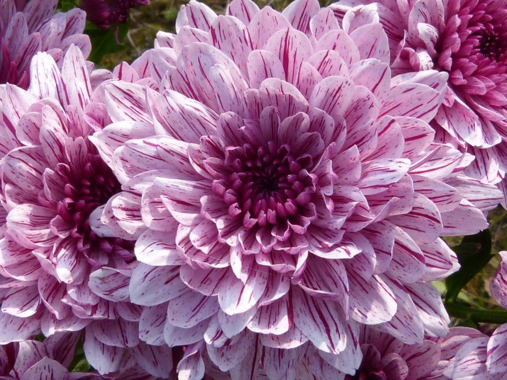 """Choyo no Sekku es el nombre que recibe el """"Festival de la flor del crisantemo""""(Kiku) también conocido como el """"Festival del Doble Nueve""""."""