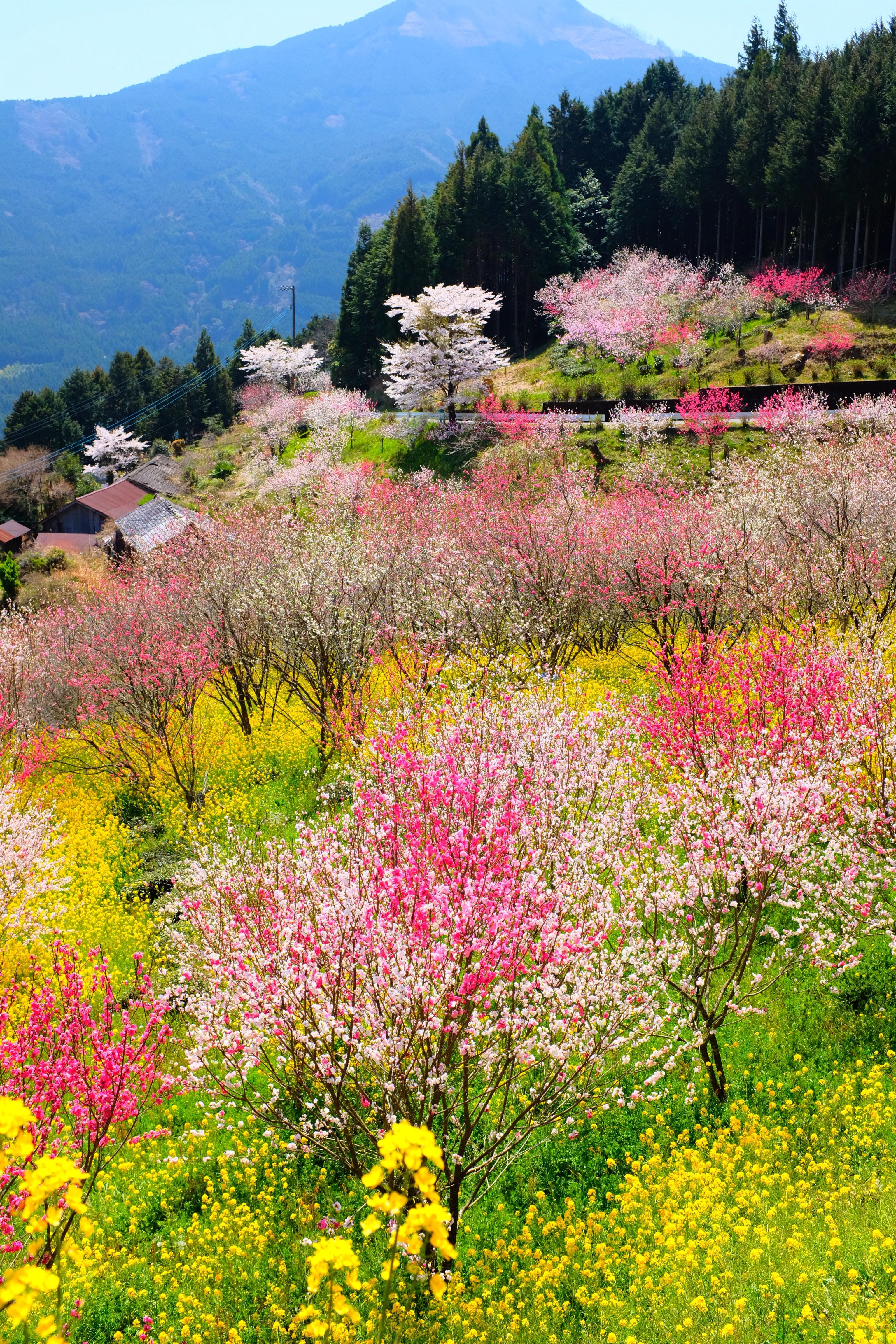Sakura o florecimientos de los cerezos en Japón, durante la primavera.